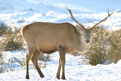 Gualin Stag (carolann_c) Tags: blue sky cloud sun snow clouds landscape scotland highlands stag deer antlers sutherland durness wildanimals kinlochbervie gualin