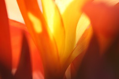 Floral Light and Colour (K. Levins) Tags: desktop flowers light red wallpaper orange sun abstract flower color colour macro nature floral colors up yellow closeup contrast canon eos photo cool interesting media colorful pretty colours close shot image random background sydney australia photograph nsw rays colourful trippy digitalphoto randomphoto digitalphotograph 50d canoneos50d canon50d flowerphoto randomphotograph kevinlevins highcolourhigh