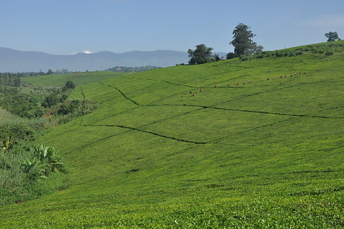 Tea plantation near Fort Portal