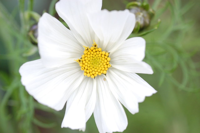 White cosmos flower with yellow centre