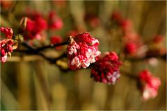 viburnum....... (atsjebosma) Tags: viburnum bloem macro bokeh colourful atsjebosma groningen thenetherlands garden tuin winter february 2017