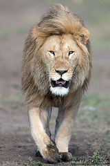 Direct Approach (Explore 2/21/2017) (tkfranzen) Tags: lion simba pantheraleo africa africansafari africanwildlife africanlion roysafaris makaoplains ndutu tanzania tnclivenature animalplanet
