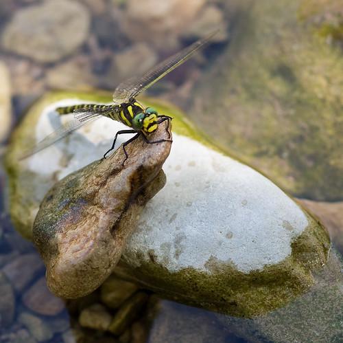 Dragonfly, Rodellar, Spain