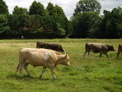 Cows on Coe Fen