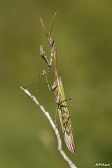 Empusa pennata, Dordogne (MP7Aquit) Tags: macro nature animal wildlife