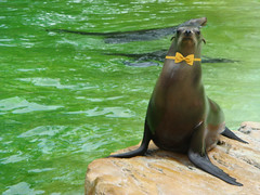 Loose Seal (with a yellow bow tie)
