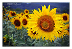 France, Sunflowers at Beynac