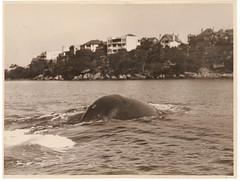 Whale, Sydney Harbour, 1930's / Sam Hood