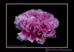 Single Carnation (chetty3) Tags: pink flowers macro nature canon carnations sigma105mmf28 eos40d wonderfulworldofflowers