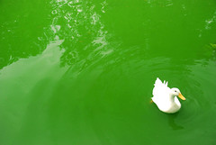 Duck in green water (Maron) Tags: white green swimming reflections duck havana rings havanna lahabana greengreen supermarion bildekritikk marionnesje