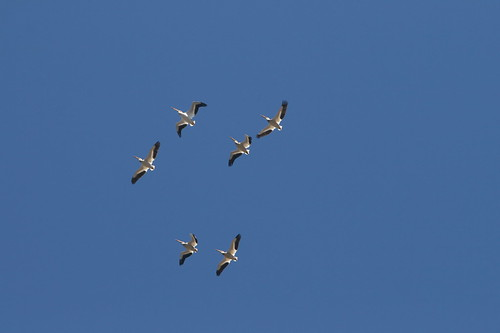 safine pelicans1