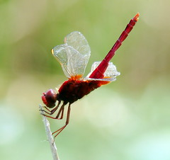 a pose, dragonfly lake (applelike) Tags: red pose dragonfly wing korea appletrees daejeon naturesfinest abigfave applelike platinumphoto daejeom