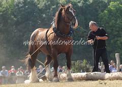 DSC_3372 2 Breton (Ton van der Weerden) Tags: horses horse de cheval freilichtmuseum 2009 draft duitsland chevaux detmold trait pferdestark trekpaard trekpaarden