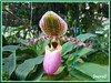 Paphiopedilum glaucophyllum (Slipper Orchid)