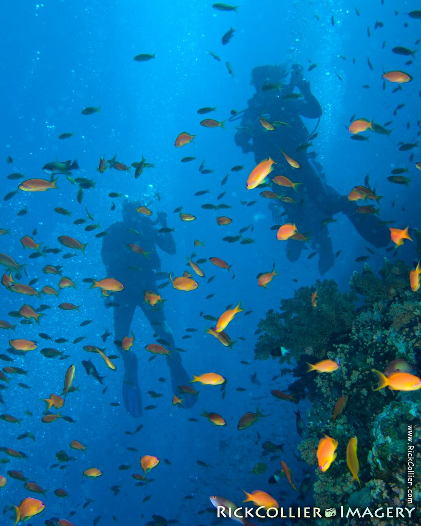 Scuba divers ascend through a shoal of colorful small fish in the Red Sea at Ras Muhammad, Egypt