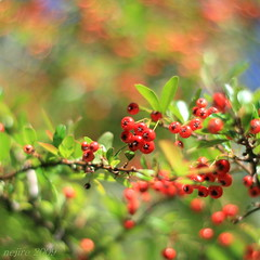 rainbow bokeh ... (_nejire_) Tags: plant fruit berry flora dof bokeh f18 carlzeiss 10faves hbw 325pm 25faves canoneos400d fave10 planart50mm fave25 carlzeissplanart1450ze