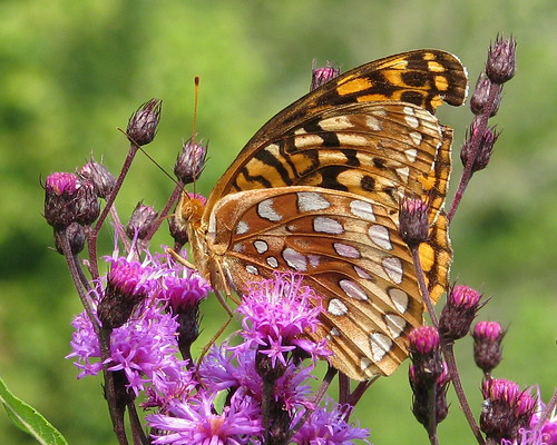 Great Spangled Fritillary, perched