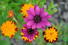 (osteras) Tags: flowers orange flower closeup purple bokeh colorphotoaward nikond90 267365 prject3661 flickrunitedwinner