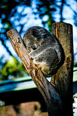 Koala Bear, Taronga Zoo