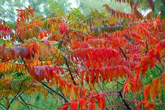 Arnold Arboretum: Green leaves turn red