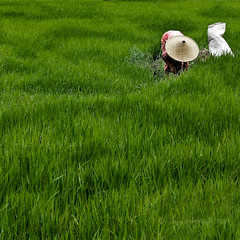 Busy Green (anjur) Tags: fab portrait people green westjava padi sawah explored theunforgettablepictures goldstaraward goldstarawardgoldmedalwinner homersiliad superstarthebest