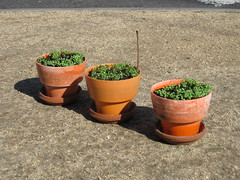 week two_clover growth