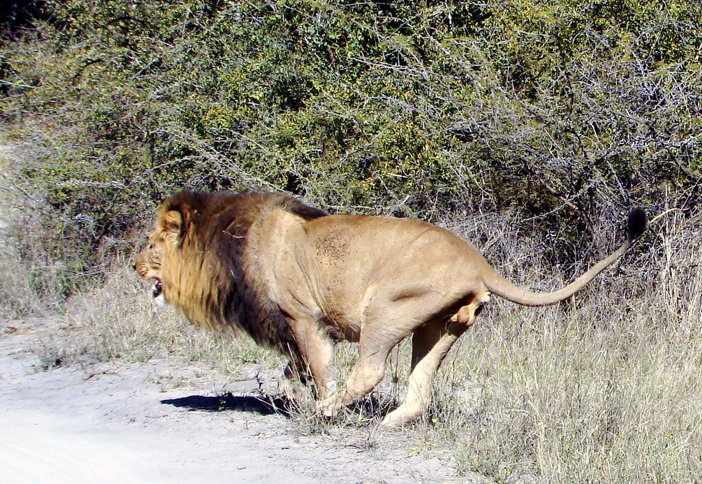 DSC08297 Tripod the lion limping
