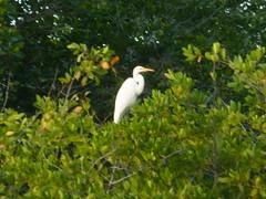 A herron in the mangroves.
