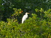 A herron in the mangroves.