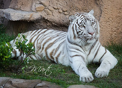 White Tiger Cheesecake (FLPhotonut) Tags: 1001nights buschgardenstampa canon50d flphotonut 1001nightsmagiccity whitetigercheesecake