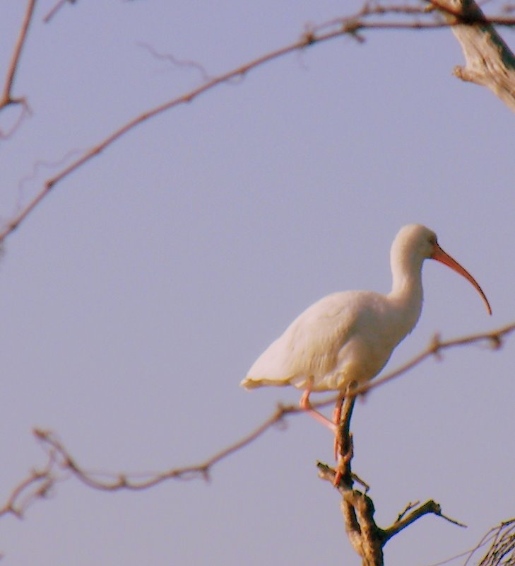 IBIS IN THE MORNING