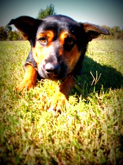 Roxy (basschick89) Tags: dog cute mixed breed roxy