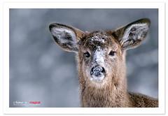 Snowy (Imapix) Tags: snow canada art nature animal fauna canon photography photo foto photographie quebec deer québec neige chevreuil imapix whitetaildeer gaetanbourque specanimal vosplusbellesphotos