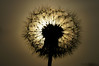 Dandelion - Löwenzahn (Henrik Scodellaro) Tags: sun dandelion sonne löwenzahn pusteblume