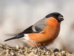 P2120214 (turbok) Tags: gimpel tiere vögel wildtiere c kurt krimberger