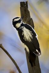 Hairy Woodpecker in Fall Sky (vanalan) Tags: animal aspen bird hairywoodpecker newmexico plant santafe santafenationalforest tree woodpecker