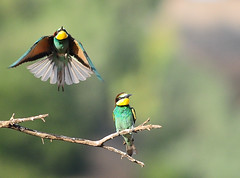 European bee-eater (aziouezmazouz) Tags: macro cute bird amazing colours bokeh ngc cutie legacy tqm acrobatic tistheseason bellissima naturesfinest manipulatedimages coth vibrantcolours greatphotographers interestingshot magicofnature areyouready nicecapture bej specanimal anawesomeshot impressedbeauty ultimateshot avianexcellence diamondclassphotographer flickrdiamond theperfectphotographer nikond300 goldwildlife stunningsupershot 100commentgroup grouptripod vosplusbellesphotos artofimages saariysqualitypictures elitephotographers savebeautifulearth expressyourselfaward bestcapturesaoi flickrvault coth5 flickrvaultexcellence coppercloudsilvernsun creativeoutbursts theadmirergroup bestofloveaward worldofnaturethebest greaterphotographers sunofgodphotographer greatestphotographers ultimatephotographers pipexcellence sweetfreedom masterclasselite freedomtosoarlevel1birdphotosonly freedomtosoarlevel2birdphotosonly