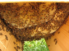 Inside my Top Bar Hive (mereshadow) Tags: building happy bees honey critters making comb beekeeping topbarbehive