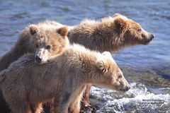 cubs waiting on Mom's return IMG_3173 (bud_marschner) Tags: alaska cubs brownbear brooksfalls katmai
