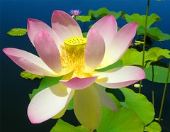 Lotus - King of Flowers (Stanley Zimny (Thank You for 13 Million views)) Tags: pink flowers green water yellow garden king waterlily lily lotus bronx bronxbotanicalgarden abigfave 100commentgroup saariysqualitypictures