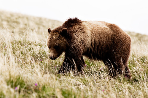 Yellowstone Grizzly 2
