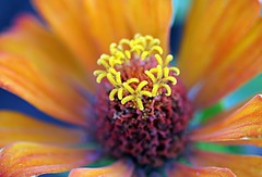 zinnia details (NURAY YUZBASI) Tags: orange macro nature closeup star dof bokeh details drop 100mm zinnia yeil turuncu canonef100mmf28macrousm flickrdiamond fleursetnature wonderfulworldofflowers 100commentgroup vosplusbellesphotos saariysqualitypictures depthofthefield eosdigitalrebelxti400dkissdigitalx
