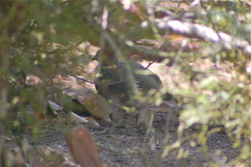 hidden quail