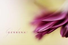 Extreme close up (Stuart Stevenson) Tags: flower macro closeup canon canon300d august stuart explore indoors gerbera frontpage stuartstevenson cozitsraining stuartstevenson