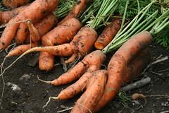 carrot harvest