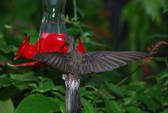 Giant Hummingbird (Patagona gigas) 9