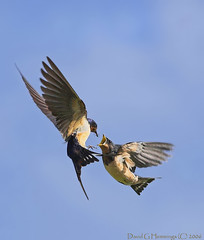 Barn Swallows Mid Air Feeding (Nature's Photo Adventures - David G Hemmings) Tags: ontario canada whitby vosplusbellesphotos slbfeedingyoung slbflying birdsnw09 barnswallowflight