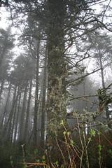 The Old Spruce (Uffdah) Tags: tree fog oregon forest coast or lichen spruce oldmansbeard capeperpetua