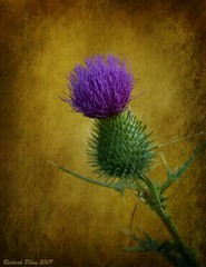 Thistle (Richard Pilon) Tags: flowers friends beautiful thistle awesome blossoms group textures vision topgun flowerotica colorphotoaward goldstaraward draggondaggerphoto imagofabulae