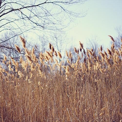 fields-of-gold-by-julia-wang